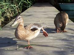 Hoch das Bein! (marion streich) Tags: ducks language enten landingstage bootssteg ogp awwwed handselectedphotographs languageofeurope