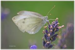 IMG_2114_2012.JPG (Monsare) Tags: butterfly papillon schmetterling pierisrapae kohlweissling kleinerkohlweisling