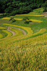 Harvest soon (shinichiro*) Tags: summer japan harvest august chiba getty 日本 ricefield crazyshin riceterraces 2012 千葉県 棚田 terracedricefields 大山千枚田 afsnikkor1424mmf28ged 晴れの日 鴨川市 nikond800e 20120825d019765 8970571 7858732530