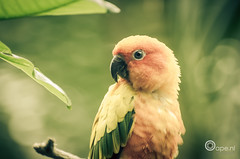 Fine feathers (Oape) Tags: orange color green bird nature animal fauna zoo dof bokeh feathers dier emmen dierentuin sunparakeet