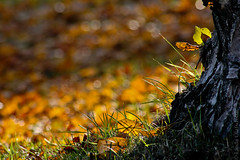 Fallen leaves ... (FotoLind) Tags: autumn tree green yellow canon island iceland bokeh linda gras ísland eyjafjordur akureyri eyjafjörður gulur gult fotolinda grænt grænn innbær fotolind lindaólafsdóttir