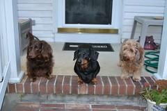 The Boys Passed (Tobyotter) Tags: dog chien pet frank hound canine dachshund perro hund link wienerdog dackel teckel k9 jimmydean doxie sausagedog aplaceforportraits