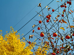 IMGP9983 (oasisframe) Tags: blue autumn trees red fall yellow fruit bluesky korea persimmon southkorea fruitful     persimmontrees koreaimage