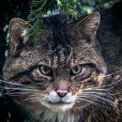 Scottish Wildcat (amcgdesigns) Tags: animal cat canon eos iso3200 scotland eyes unitedkingdom places greeneyes wildcat lightroom kincraig highlandwildlifepark cs6 canon100400mm eos7d flickrbigcats highlandtiger lightroom4 andrewmcgavin andrewmcgavin