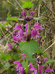 Spotted dead-nettle (aniko e) Tags: plant flower germany munich purple diversity isar lamium deadnettle lamiaceae taubnessel lamiummaculatum spotteddeadnettle rvacsaln geflecktetaubnessel foltosrvacsaln