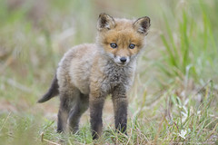 Curiosity (santosh_shanmuga) Tags: red wild baby cute nature animal mammal outdoors cub md nikon little outdoor wildlife young adorable maryland canine queen fox kit 500mm curiosity annes queenannes canid d3s
