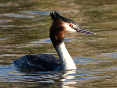 Great Crested Grebe (Peanut1371) Tags: red brown white black bird water crested grebe greatcrestedgrebe nationalgeographicwildlife