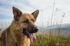 Pastore Tedesco - Canis lupus familiaris (Gaetano.Quattrocchi) Tags: dog animal cane monte palermo sicilia lupo bagheria pastore tedesco catalano gaetanoq