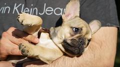 Figo im Stadtpark Steglitz, Berlin (Fotograf M.Gerhardt) Tags: berlin deutschland hund haustier tier welpe bulldogge jungtier sugetier bouledoguefranais haushund franzsischebulldogge