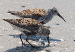 Dunlin (Gerry McGee) Tags: dunlin rscapemay52016