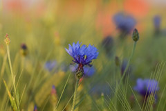 here's come the sun (simo m.) Tags: blue red flower nature fleurdelis bluebottle