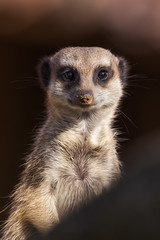 Meerkat  (patrickmai875) Tags: portrait color art love nature animal canon meerkat warm kunst wildlife ngc natur sigma national liebe tier 6d erdmnnchen geographics 150600mm