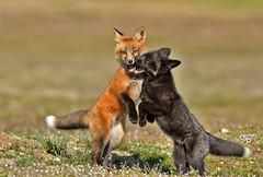 DB6_0121 (DouglasJB) Tags: cuteness foxes playful djbphotocom