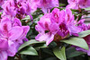 IMG_3174.JPG (robert.messinger) Tags: flowers rhodies