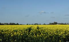 Sillons (vostok 91) Tags: france nature yellow jaune landscape la fuji bleu ciel arbres oil fujifilm iledefrance ville 91 x20 huile colza essonne sillons carburant gometz vostok91