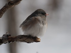 Dark Eyed Junco (junoc hyemalis) (Gerald Barnett) Tags: winter usa bird art nature beautiful beauty birds closeup outdoors grey illinois peace bokeh availablelight ambientlight wildlife junco birding gray peaceful atmosphere naturallight aves calm extremecloseup pajaro wintertime inspirational upclose contemplative ornithology birdwatching oiseau extraordinary bestpicture avian vogel wildliferefuge smallbirds avis juncos uccello juncohyemalis wildanimals artphoto bestpic wildbirds northamericanbirds bestphoto wildlifephotography naturalcolor perfectpicture birdcloseup perfectpic birdsasart birdsofnorthamerica illinoiswildlife