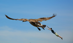 Trying To Catch A Ride (swong95765) Tags: boy sky bird fly kid funny humor goose fantasy catch grab leap fail