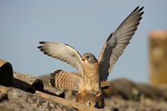 Lesser Kestrel Mating, Calera (Daniel Trim) Tags: terracotta breeding falcon mating lesser kestrel buidling roofing nesting courting falco pantile naumanni
