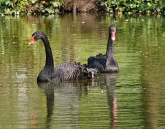 Black Swan (tim ellis) Tags: park uk bird swan birmingham blackswan cygnusatratus moseley moseleypark bfm0516