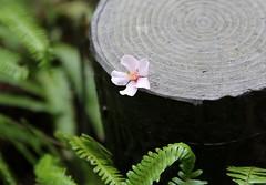 kabukihh (jumbokedama) Tags: roses bees fullmoon cherryblossoms camellia bumblebees wisteria japaneseroses plumblossoms japaneselanterns japaneseflowers moonpictures beesonflowers japanesescenery viewsofjapan rosesofjapan