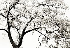 Tree in Walnut Hill Park (Barbara Coughlin) Tags: park trees lensbaby spring sweet hill walnut 35