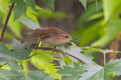 House Wren (PhillymanPete) Tags: bird philadelphia nature us spring unitedstates pennsylvania wildlife wren heinz songbird tinicum housewren johnheinznwr