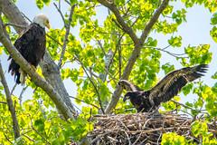 Father's day! (BhushanAwate) Tags: nikon adult nest eagle bald immature tamron d5300 150600