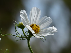 Cosmos (teressa92) Tags: white flower petals annual bud cosmos cosmosbipinnatus cosmospurity teressa92