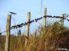 Andorinhas (bettolves) Tags: flickr sony natureza liberdade beto pssaros barroso andorinhas
