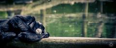 Take it easy (Dionne Abel) Tags: animals zoo monkey