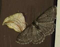 Moth_053016d (Eric C. Reuter) Tags: ny nature wildlife may insects moths hancock catskills 2016 somersetlake mothing 053016