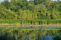 Watershed Nature Center (Mike Matney Photography) Tags: 2016 canon eos7d edwardsville illinois june midwest watershednaturecenter bird birds nature wildlife unitedstates us greategret greatblueheron