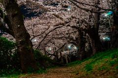 | Sakura Trail () Tags: japan cherryblossom  hanami  takada   nightsakura   sonya7 zeissbatis85mmf18