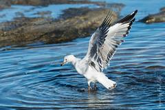 Bird Bath (PaulBalfe) Tags: bird caloundra kingsbeach silvergull