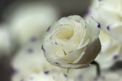 Just Be (Deirdre MagMa) Tags: white flower macro june juni 100mm deirdre wit bloem lisianthus 2016 eustoma canon7dmarkii deirdremoments eustomarussellianumgrandiflorum