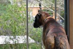 admiring the view from the verandah (christinemargaretlynch) Tags: view boxer verandah