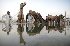 The Pushkar Camel Fair at Rajasthan. (Tapas Ghosh Photography) Tags: travel people india animal festival colorful desert indian culture camel human journey pushkar reflexion cultural rajasthan travelphotography camelfair pushkarfair incradibleindia