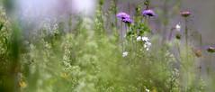 Roadside (siebensprung) Tags: flowers wild nature outdoor natur meadow wiese blumen bloom wildflowers blten blhen wildblumen