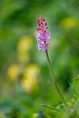 it's the right time for them (Tschissl) Tags: sterreich orchids polster steiermark orchideen at vordernberg eisenerzeralpen leobenumgebung