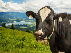 Happy cow. (stefanfriessner) Tags: mountain lake salzburg austria outdoor hiking wolfgangsee mondsee
