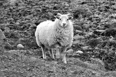 (Steini789) Tags: bw white black cute sheep lamb icelandic