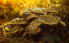 Golden Shrooms (ThomasBlumenthal) Tags: light macro fall texture nature grass forest mushrooms outdoors gold golden nikon sweden teenagers amateur spontaneous d90 bokehs thomasblumenthal