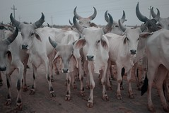 Class of 2011 (nandadevieast) Tags: travel india cows herd banni gujarat kutch rann anuragagnihotri nandadevieast
