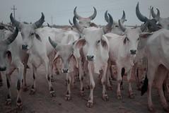 Class of 2011 (nandadevieast) Tags: travel india cows herd banni gujarat kutch rann anuragagnihotri nandadevieast