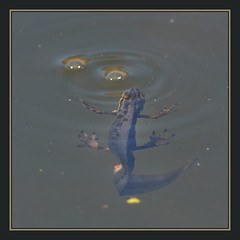 Smooth Newt (Full Moon Images) Tags: nature pond wildlife sandy smooth bedfordshire reserve amphibian common newt rspb
