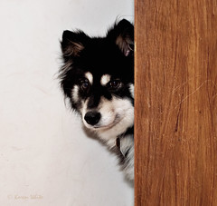 peeking 4/12/A (sure2talk) Tags: flash peeking speedlight softbox diffused taivas finnishlapphund funnygirl nikond60 sb900 beautifulworldchallenges 412a 12monthsfordogs12 100words47inquisitive