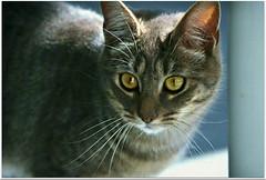 Micky  (Simply Viola) Tags: cats animals kittens felini gatti animali gattini catnipaddicts
