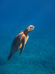 on the rise (bluewavechris) Tags: ocean life blue sea brown sun sunlight green nature water animal coral swim canon hawaii marine snorkel turtle reptile wildlife dive shell maui reef creature flipper undewater d10 highqualityanimals