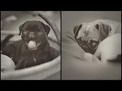 Sleepytime. (Doug Smith Media) Tags: dog cute canon puppy happy 50mm bed soft lily basket sleep chocolate f14 yawn pug sleepy fawn coco 5d
