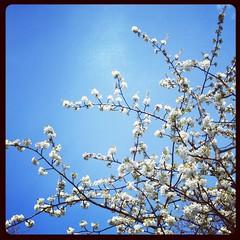 Kirschblte (gordongross) Tags: kirsche kirschbluete